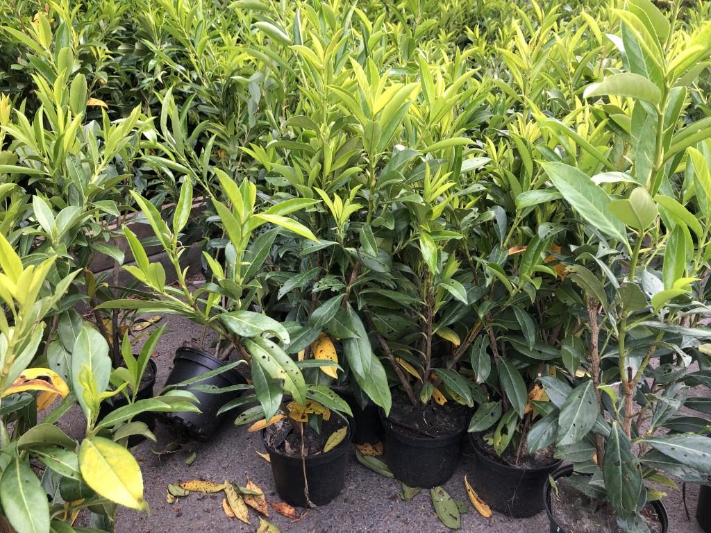 Arbres et arbustes d ornements